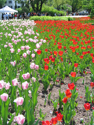 Tulips in Bloom In Ottawa